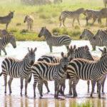 Zebras in East Africa