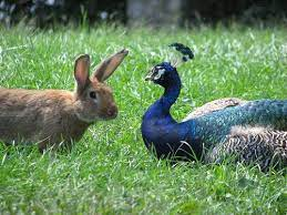 bunny and peacock