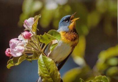 Blue bird singing by Werner Gansz Brookin ME
